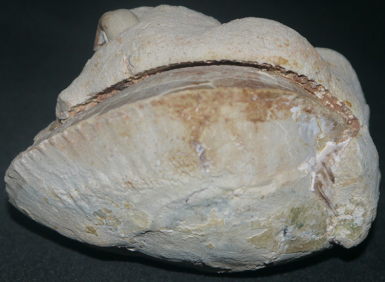 Fossilised Clam