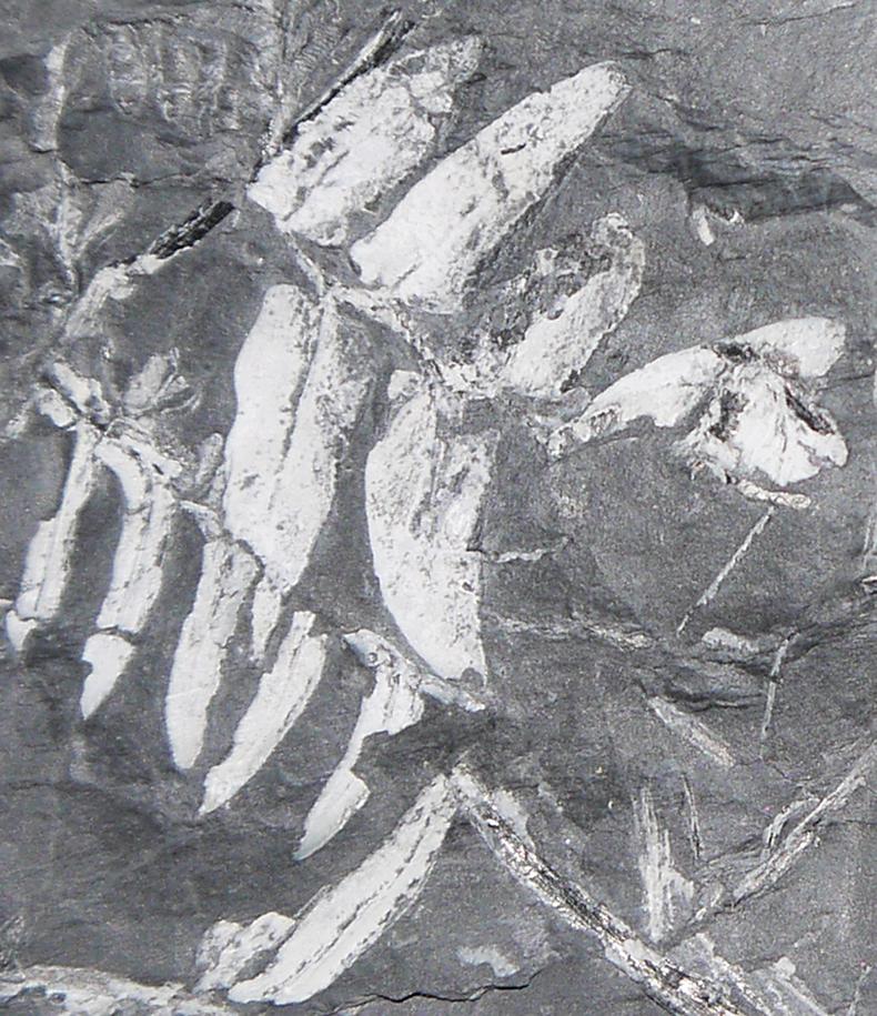 Alethopteris Fern Fossil